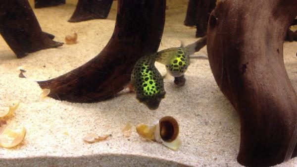 Cómo cuidar a un pez globo de agua dulce - Comportamiento del pez globo de agua dulce