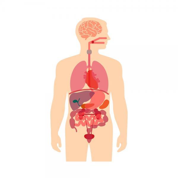 Cuántos órganos tiene el cuerpo humano
